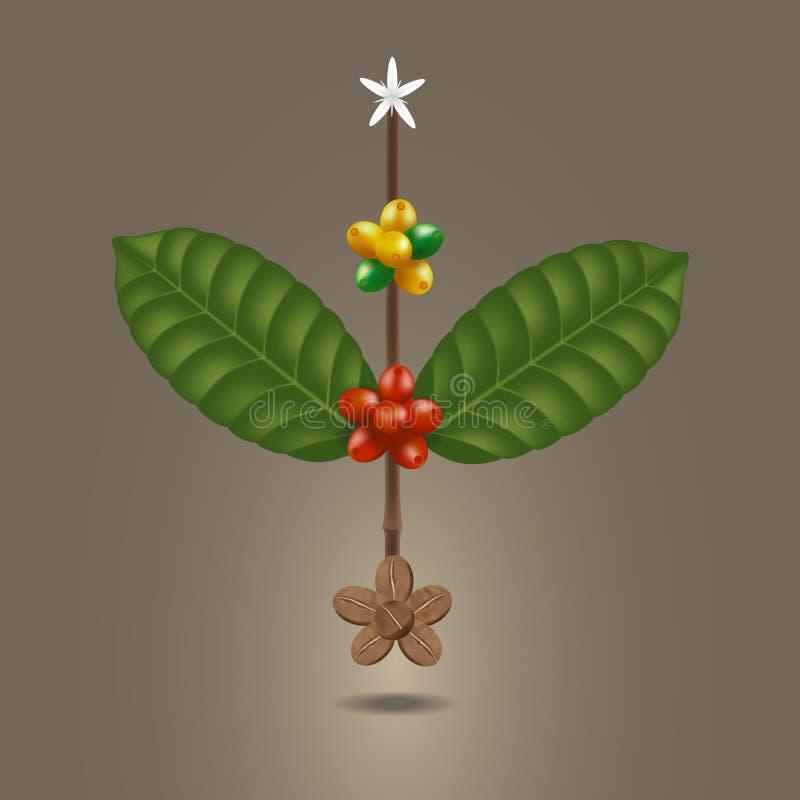 Φασόλι καφέ σε έναν κλάδο του δέντρου στοκ εικόνα