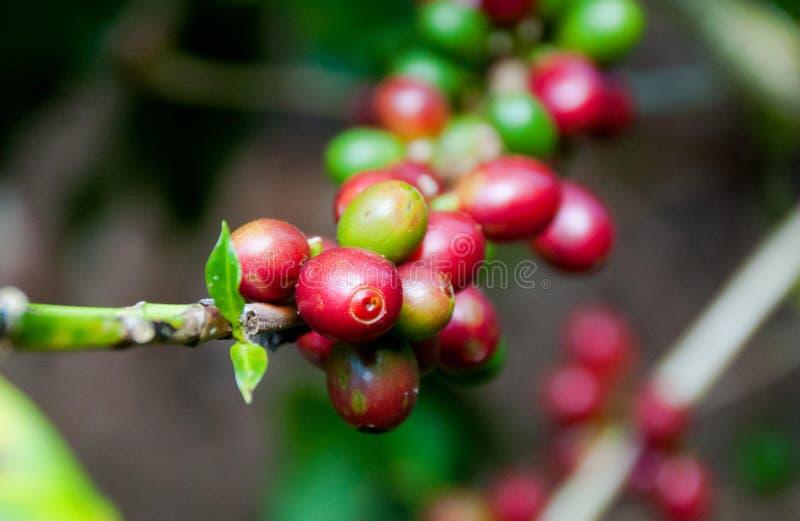 Φασόλι καφέ στο δέντρο στοκ φωτογραφίες