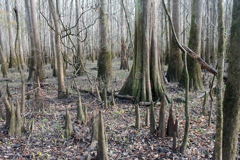 Φαλακρά δέντρα κυπαρισσιών στο εθνικό πάρκο Congaree στοκ εικόνες