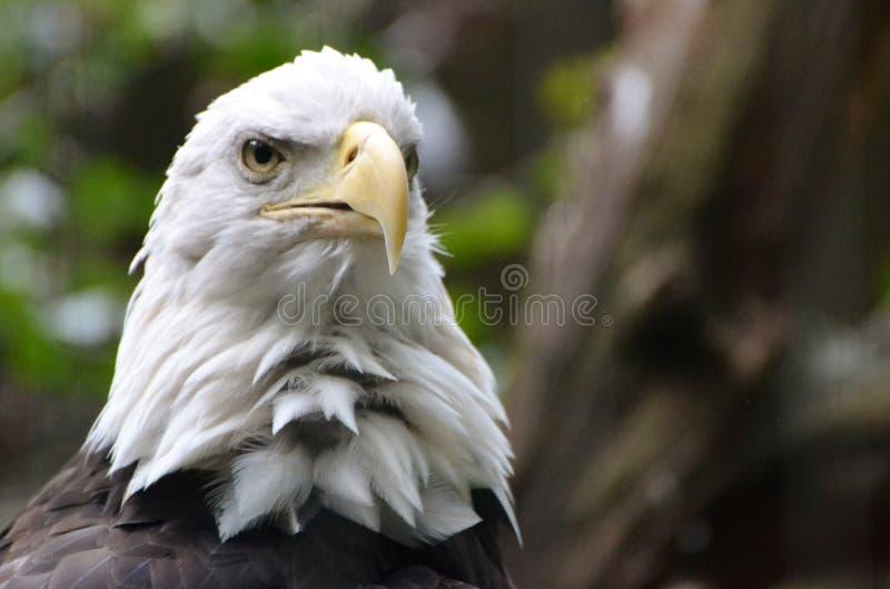 Φαλακρά κεφάλι/πρόσωπο αετών στοκ φωτογραφία