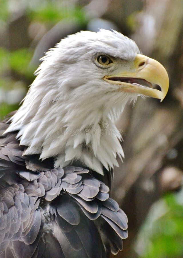 Φαλακρά κεφάλι/πρόσωπο αετών στοκ φωτογραφίες με δικαίωμα ελεύθερης χρήσης