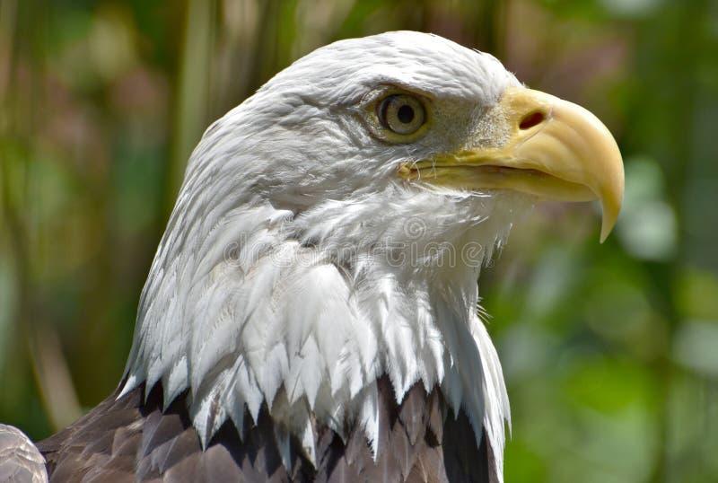 Φαλακρά κεφάλι/πρόσωπο αετών στοκ φωτογραφία με δικαίωμα ελεύθερης χρήσης