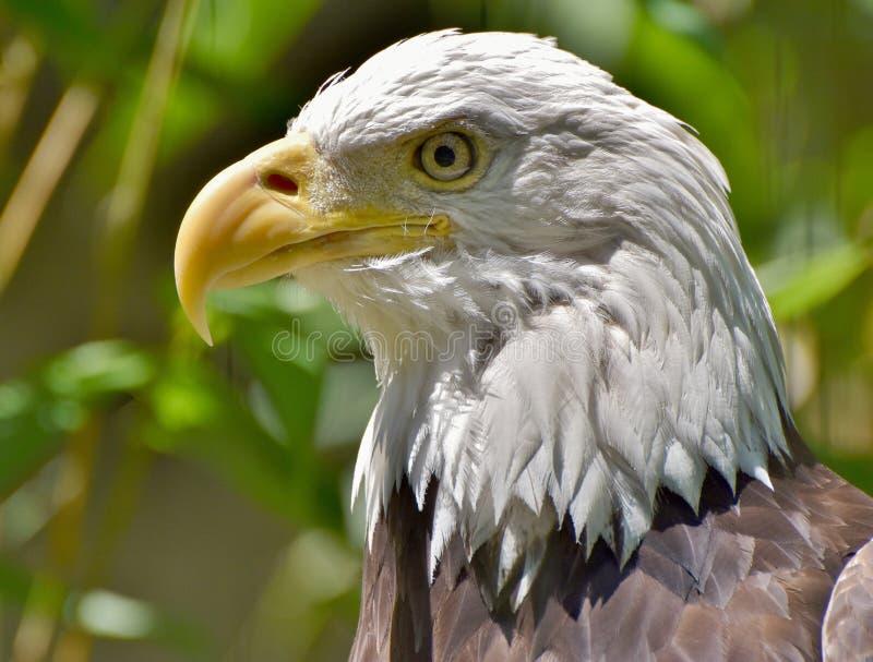 Φαλακρά κεφάλι/πρόσωπο αετών στοκ εικόνες με δικαίωμα ελεύθερης χρήσης