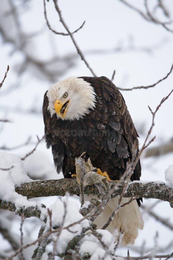 Φαλακρή συνεδρίαση αετών σε έναν κλάδο και κατανάλωση του θηράματος ΗΠΑ albedo Ποταμός Chilkat στοκ φωτογραφία