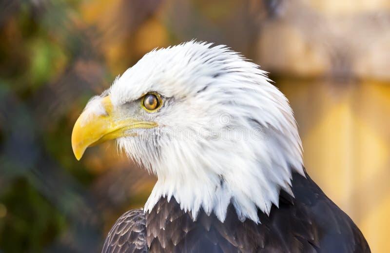 Φαλακρός αετός που κοιτάζει στο αριστερό, τέλειο σχεδιάγραμμα του πουπουλένιου προσώπου και στοκ εικόνες
