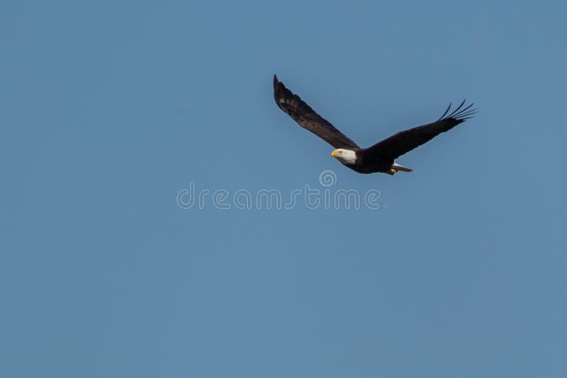 Φαλακρός αετός που πετά στα ύψη και που κυνηγά στο μπλε ουρανό στοκ εικόνες