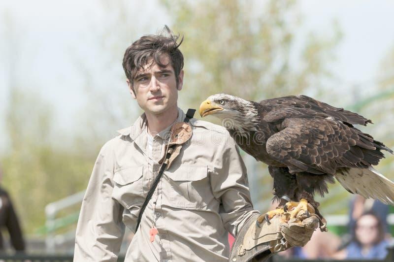 Φαλακρός αετός στο βραχίονα εκπαιδευτών στοκ εικόνες