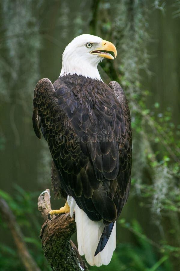 Φαλακρός αετός στο ζωολογικό κήπο της Τάμπα Φλώριδα στοκ εικόνες