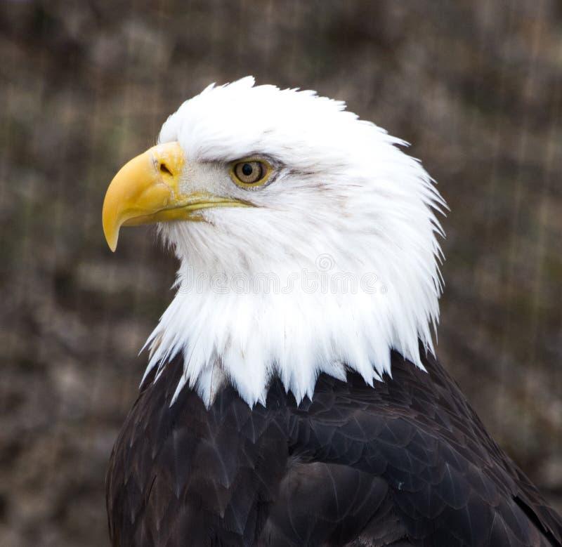 Φαλακρός αετός στο σχεδιάγραμμα στοκ εικόνες