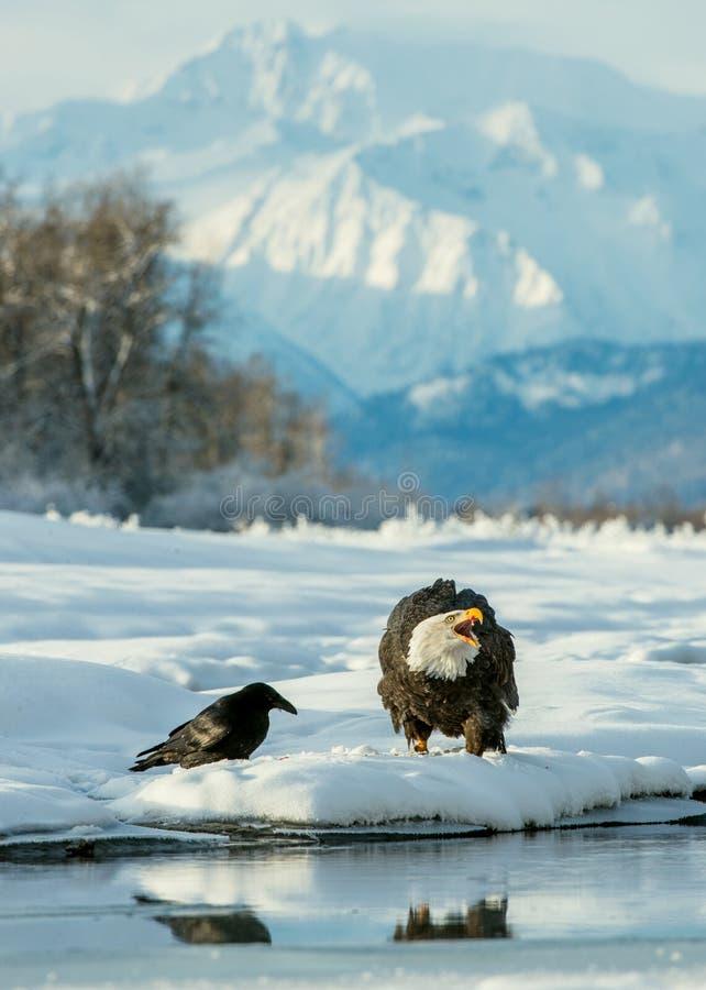 Φαλακρός αετός (leucocephalus Haliaeetus) και μαύρο κοράκι στοκ φωτογραφία