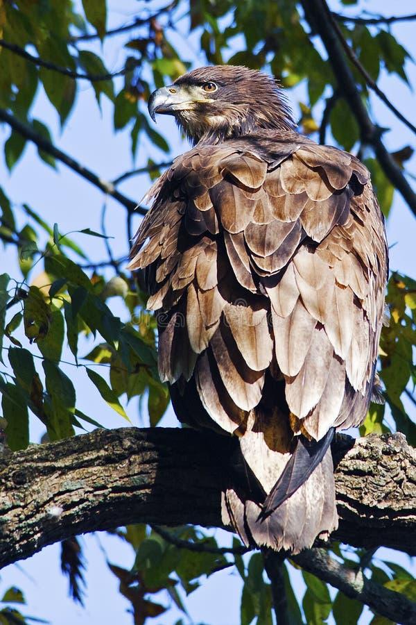 φαλακρός νεαρός αετών στοκ εικόνες με δικαίωμα ελεύθερης χρήσης