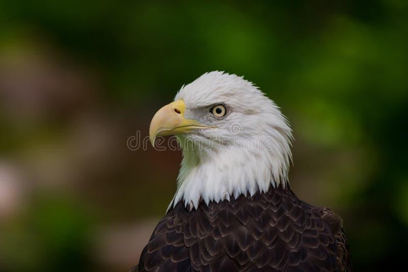 Φαλακρό επικεφαλής να φανεί αετών αριστερός στοκ φωτογραφία