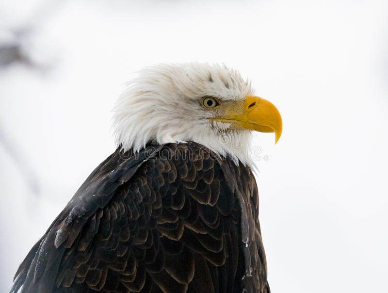 φαλακρό πορτρέτο αετών Κινηματογράφηση σε πρώτο πλάνο ΗΠΑ albedo Ποταμός Chilkat στοκ φωτογραφίες