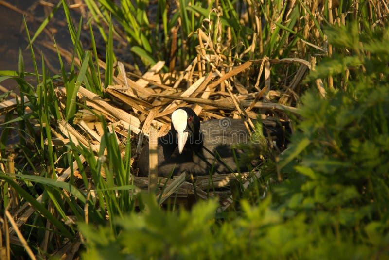Φαλαρίδα στη φωλιά της που προσέχει σας ηλιοφάνεια στοκ εικόνες με δικαίωμα ελεύθερης χρήσης