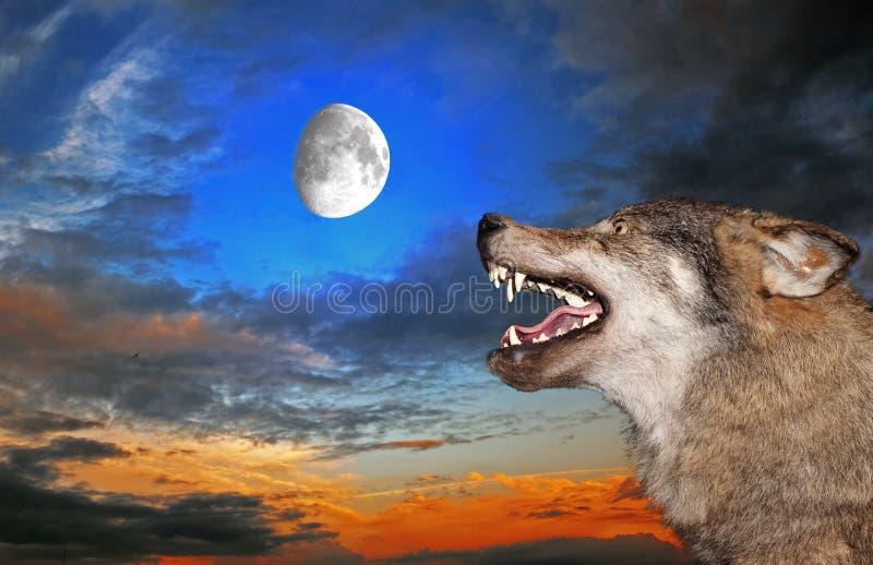 φεγγάρι κάτω από το λύκο στοκ φωτογραφία