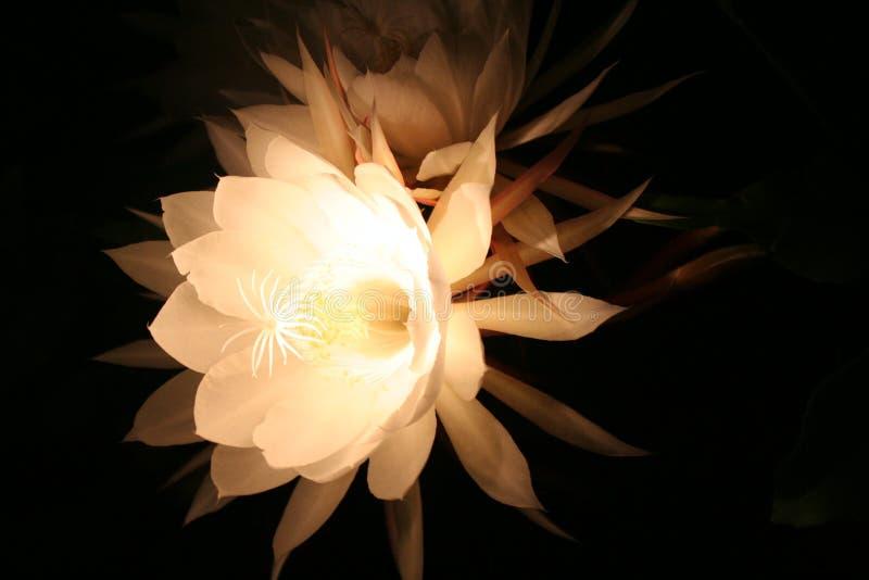 φεγγάρι λουλουδιών στοκ εικόνες