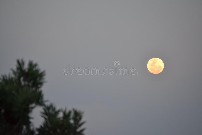 Φεγγάρι Protea στοκ φωτογραφίες