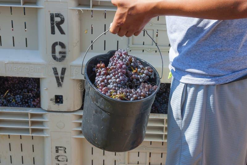 Φεστιβάλ συγκομιδών συντριβής κρασιού στο Carlton Όρεγκον στοκ εικόνα