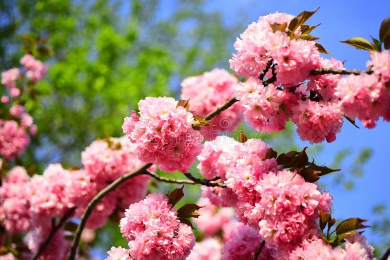 Φεστιβάλ Sakura Άνθος κερασιών Κεράσι-δέντρο Sacura Λουλούδι της Daisy, ανθίζοντας λουλούδια μαργαριτών στο λιβάδι Δέντρο ανθών στοκ φωτογραφίες