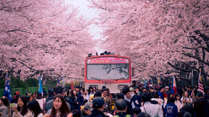 Φεστιβάλ ανθών κερασιών Jinhae: τραίνο στο σταθμό Gyeonghwa στοκ εικόνα