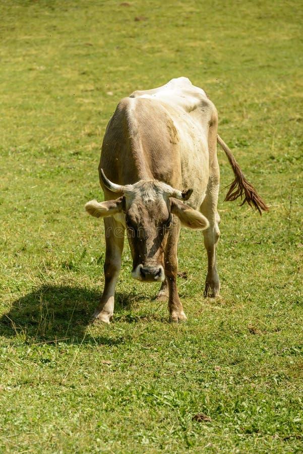 Φεύγει στην αγελάδα στο αλπικό λιβάδι, όρος Cainallo, Ιταλία στοκ εικόνα