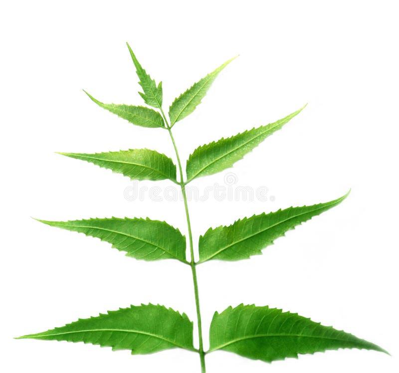 φεύγει neem στοκ εικόνα με δικαίωμα ελεύθερης χρήσης