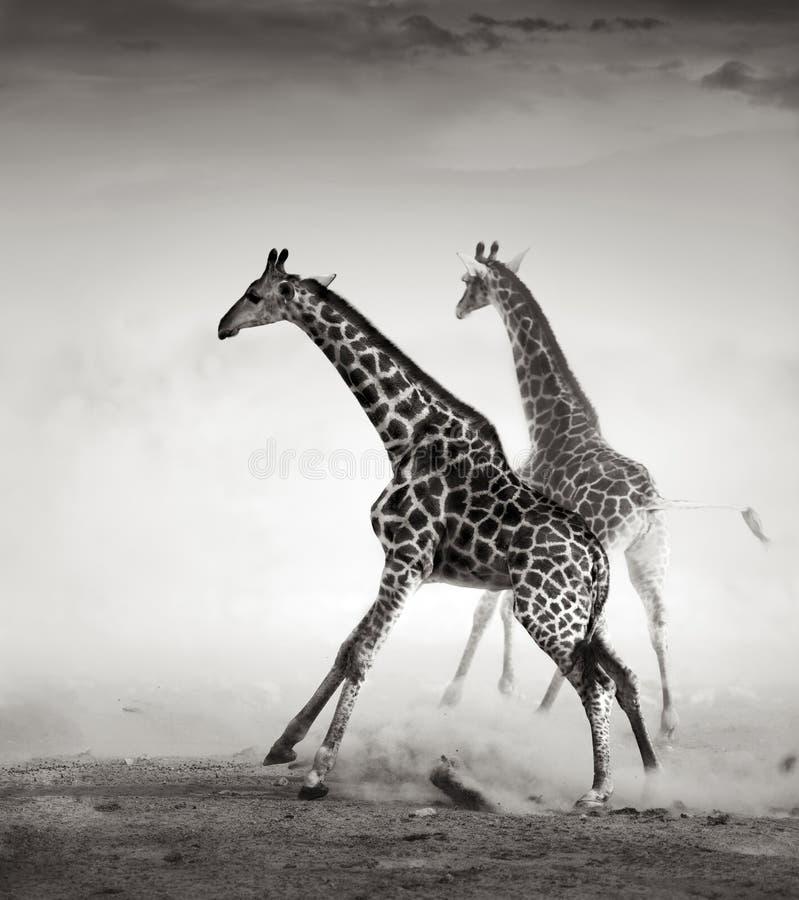 φεύγοντας giraffes στοκ εικόνες με δικαίωμα ελεύθερης χρήσης