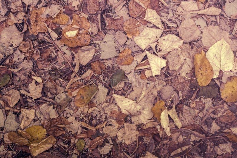 Φθινοπωρινά πεσμένα φύλλα οξιών στο έδαφος στοκ εικόνα με δικαίωμα ελεύθερης χρήσης