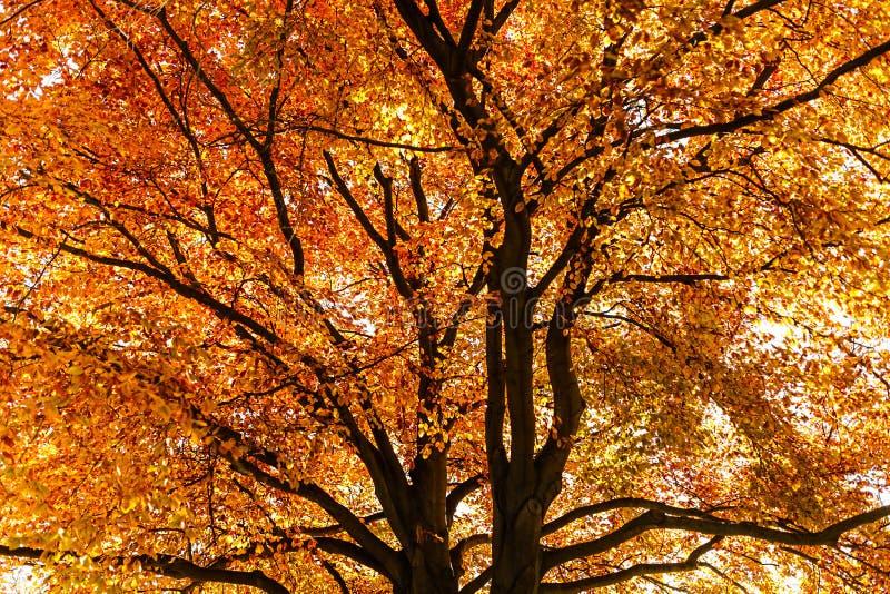 φθινοπωρινά χρωματισμένα φύ&l στοκ φωτογραφίες με δικαίωμα ελεύθερης χρήσης