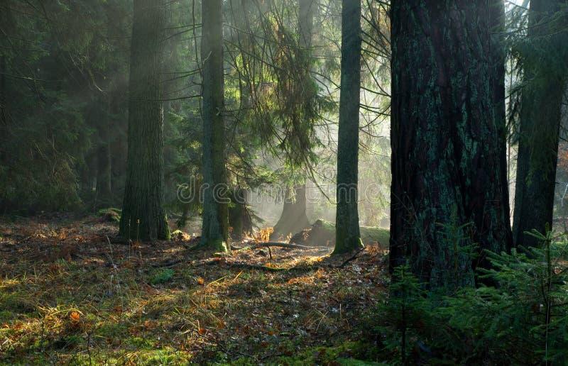 φθινοπωρινή κωνοφόρη misty στάσ& στοκ φωτογραφία με δικαίωμα ελεύθερης χρήσης