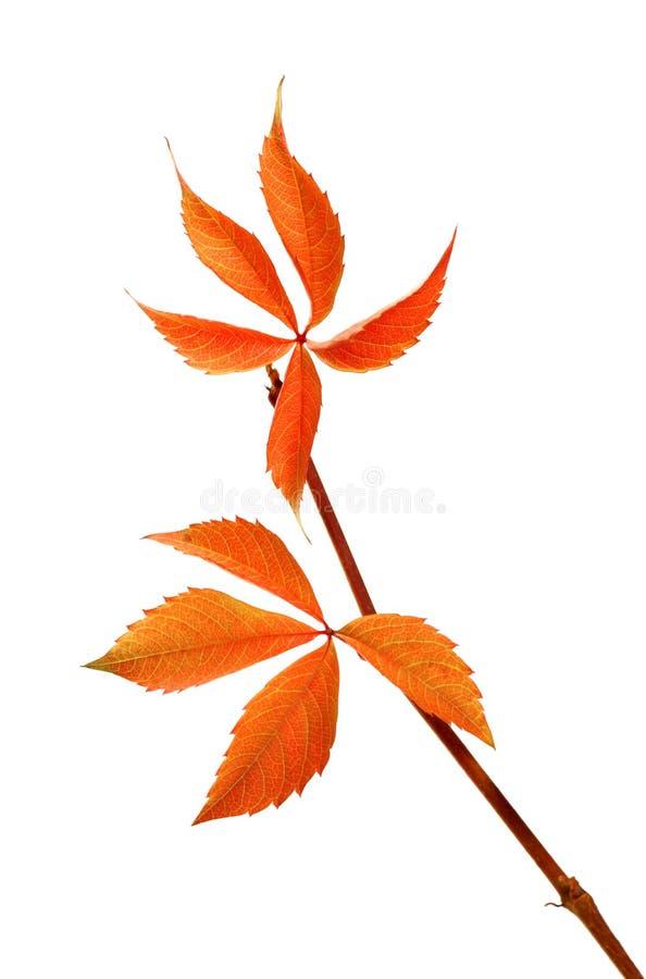 Φθινοπωρινός κλαδίσκος των φύλλων σταφυλιών (foli quinquefolia Parthenocissus στοκ φωτογραφίες με δικαίωμα ελεύθερης χρήσης