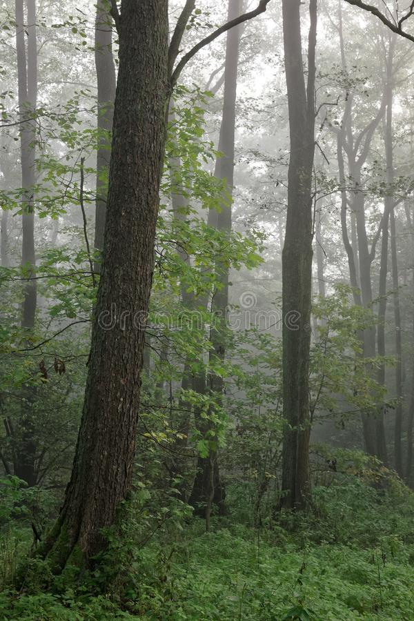 φθινοπωρινό δασικό misty πρωί κ&lam στοκ φωτογραφίες με δικαίωμα ελεύθερης χρήσης