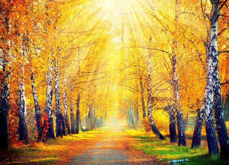φθινοπωρινό πάρκο πορτοκαλιά δέντρα λιβαδιών φύλλων σημύδων φθινοπώρου στοκ εικόνες