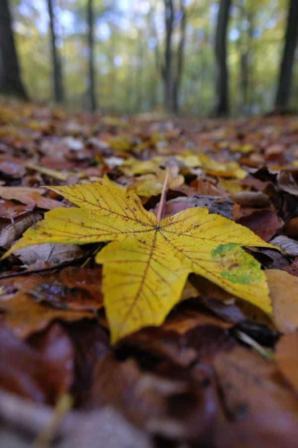 Φθινοπωρινό χρωματισμένο φύλλο σφενδάμου στοκ φωτογραφία με δικαίωμα ελεύθερης χρήσης