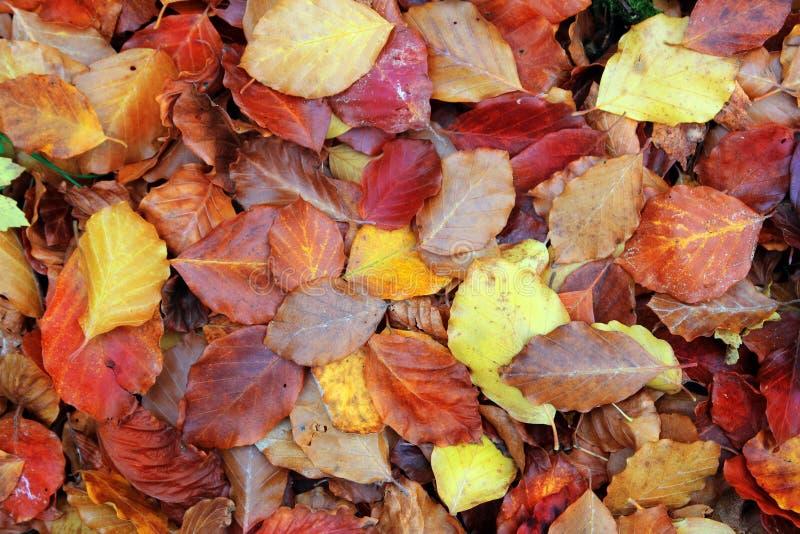 φθινοπώρου οξιών κόκκινο&sig στοκ φωτογραφίες