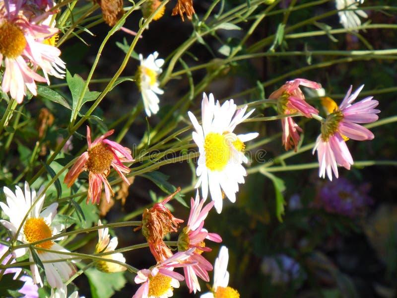 Φθινόπωρο, ηλιόλουστη ημέρα Χρυσάνθεμα στον κήπο στοκ εικόνα