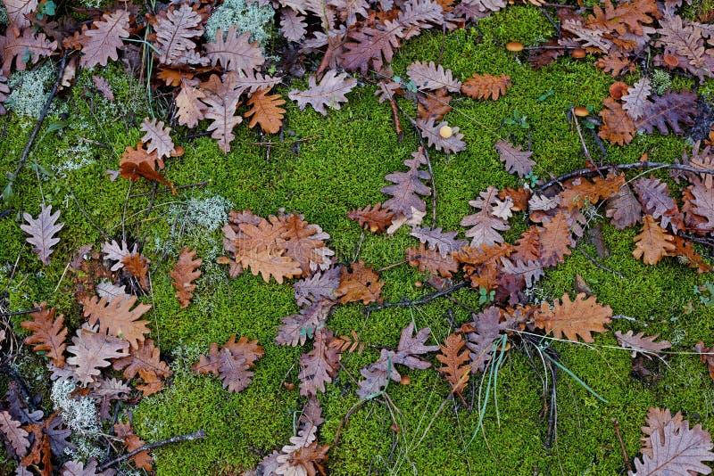 Φθινόπωρο Η φωτεινή χρωματισμένη βαλανιδιά φεύγει και ξεφυτρώνει σε ένα backgro βρύου στοκ φωτογραφίες με δικαίωμα ελεύθερης χρήσης