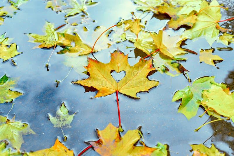 Φθινόπωρο, κίτρινο φύλλο σφενδάμου με τη αποκόπτω? καρδιά που βρίσκεται στη λακκούβα στοκ φωτογραφία με δικαίωμα ελεύθερης χρήσης