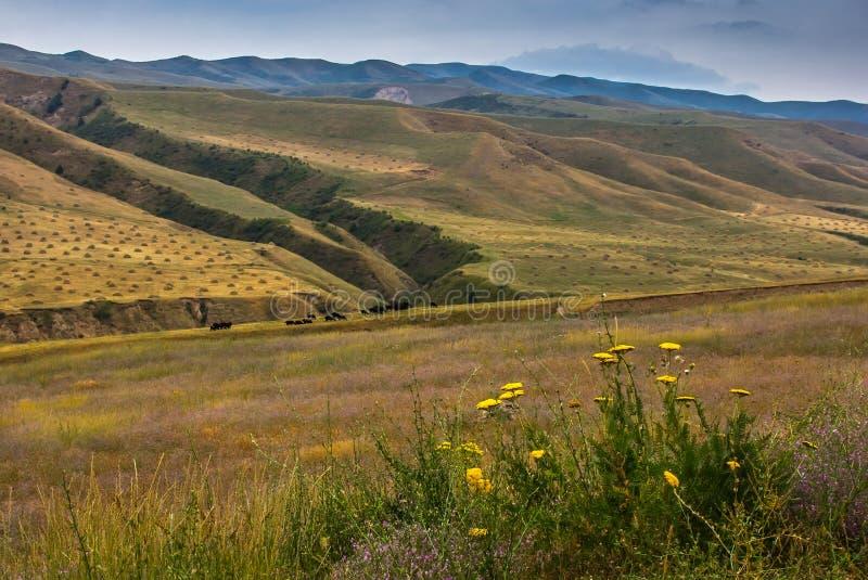 Φθινόπωρο στα βουνά Τομείς με τις θυμωνιές χόρτου και τα βόσκοντας κοπάδια των αγελάδων και των προβάτων στοκ εικόνα με δικαίωμα ελεύθερης χρήσης
