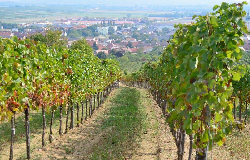 Φθινόπωρο στον αμπελώνα, χαμηλότερη Αυστρία στοκ εικόνες με δικαίωμα ελεύθερης χρήσης