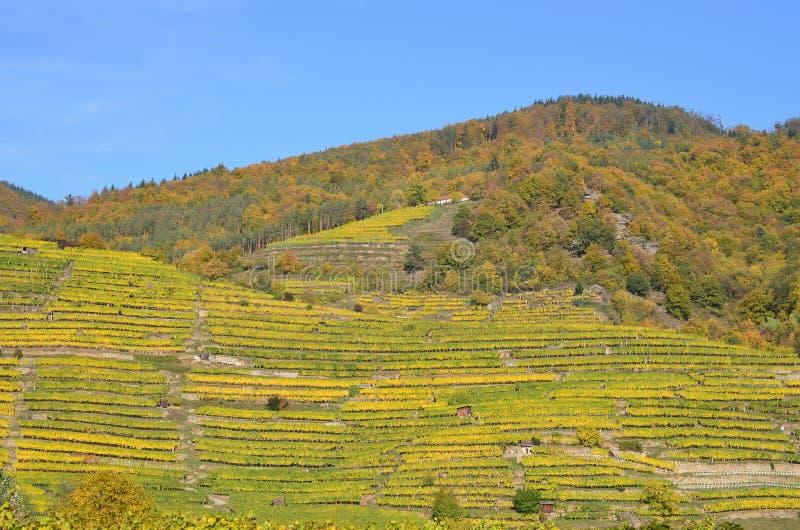 Φθινόπωρο στον αμπελώνα, χαμηλότερη Αυστρία στοκ εικόνες