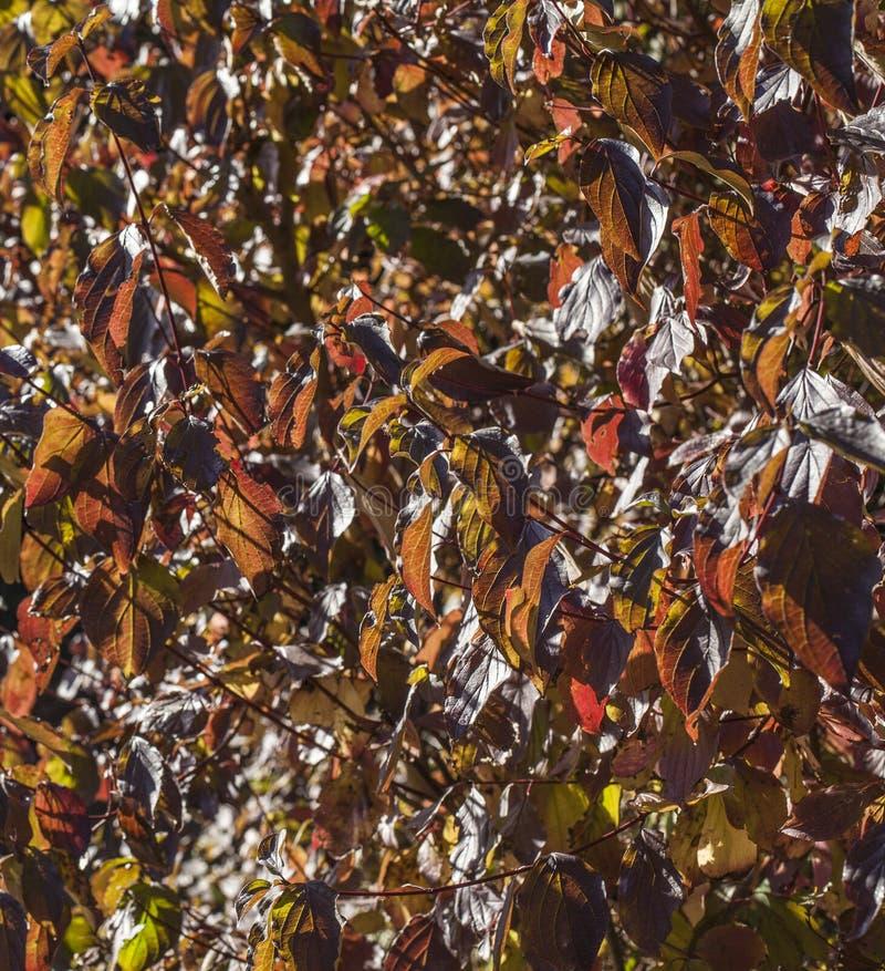 Φθινόπωρο στο Λονδίνο - ηλιοφώτιστα burgundy φύλλα στοκ φωτογραφίες με δικαίωμα ελεύθερης χρήσης