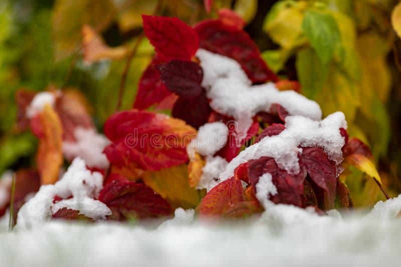 Φθινόπωρο Τα φωτεινά κόκκινα, πορτοκαλιά, κίτρινα και πράσινα φύλλα καλύπτονται με το πρώτο χιόνι Πολύχρωμες λεπτομέρειες της φύσ στοκ εικόνα