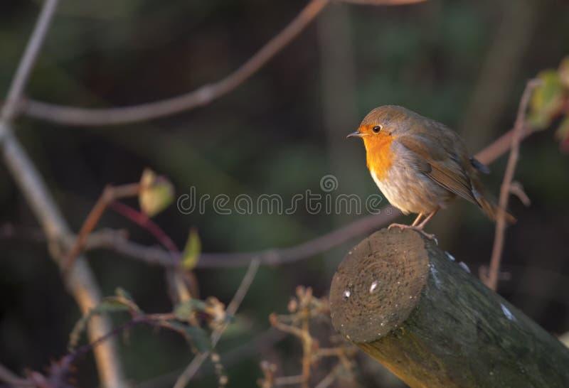 Φθινόπωρο Robin στοκ εικόνα