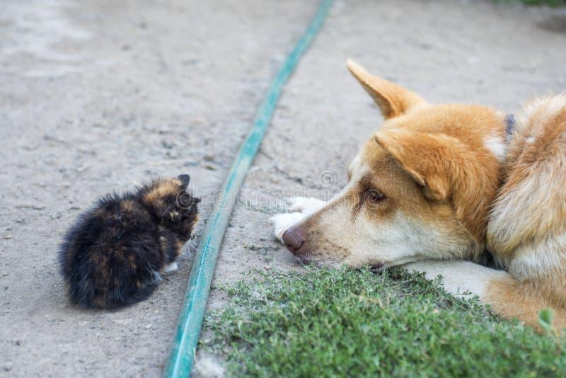 Φιλία γατών και σκυλιών Ένα μεγάλο σκυλί και ένα γατάκι στοκ φωτογραφίες