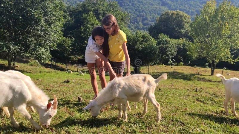 Φιλία μεταξύ των παιδιών και των ζώων δύο κορίτσια παίζουν με τα άσπρα goatlings στο χορτοτάπητα μεταξύ των βουνών στοκ φωτογραφίες με δικαίωμα ελεύθερης χρήσης