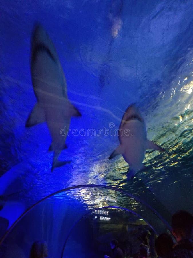 Φιλαράκοι καρχαριών στοκ εικόνες με δικαίωμα ελεύθερης χρήσης