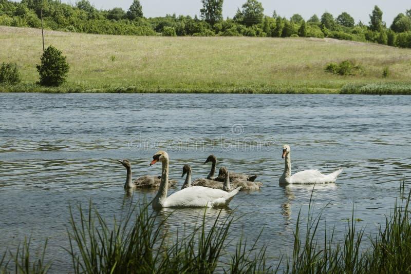 Φιλική οικογένεια κύκνων στη λίμνη στην ηλιόλουστη θερινή ημέρα στοκ εικόνα