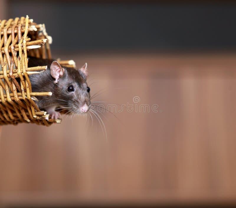 Φιλικός καφετής αρουραίος κατοικίδιων ζώων στο ψάθινο καλάθι, ζώα στο σπίτι στοκ εικόνα με δικαίωμα ελεύθερης χρήσης