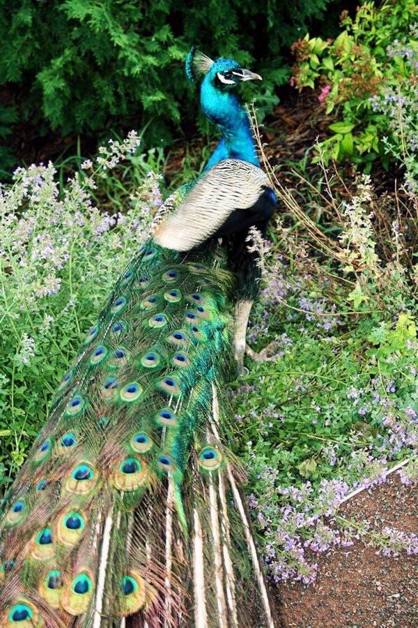 Φιλικό peacock στοκ εικόνες με δικαίωμα ελεύθερης χρήσης